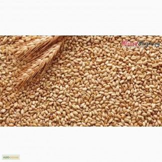 Покупаем пшеницу по всей Украине