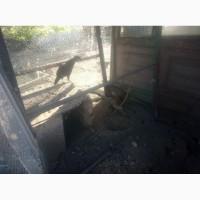 Продам румынских фазанов
