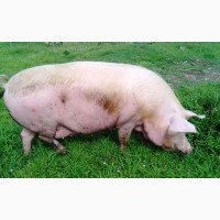 Свиньи. свиноматки 50 голов
