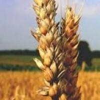 Семена озимой пшеницы Богдана, урожай 2017 года от компании Дер Трей