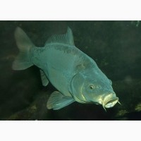 Продажа живой рыбы: Рамчатый карп, Толстолоб