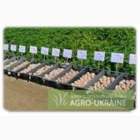 Якісне насіння картоплі