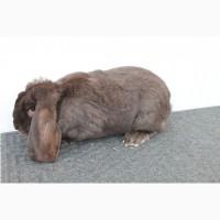 Продам кролі французькі барани