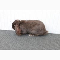 Продам кролі французькі барани гавана