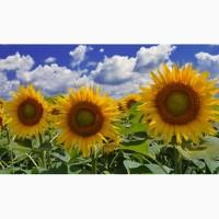 Продам соняшник Армагедон під Євро-Лайтнінг скидка 5%