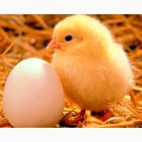 Суточные цыплята, утята, гусята(опт и розница)