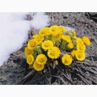 Куплю цвіт мати-й-мачухи( підбілу)