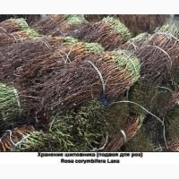 Продам сеянцы шиповника сорт corymbifera LAXA