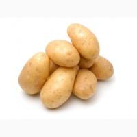 Закупаю молодую картошку крупным и мелким оптом ежедневно