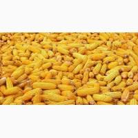 Продам кукурузу 40 т
