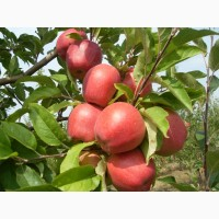 Продам яблука із власного саду