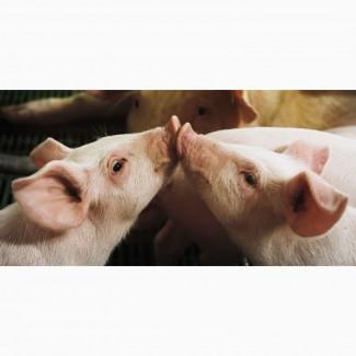 Продам кнуров (хряк) и свинок (ремок)