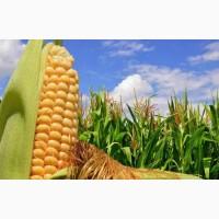 Куплю кукурудзу, ячмінь фуражний, пшеницю (2, 3 клас, фураж)