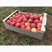 Підприємство реалізує яблука ОПТОМ від 20т