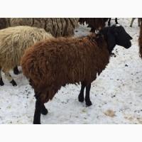 Ярки, овцематки гиссарской породы курдючные
