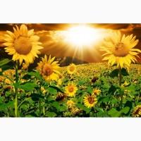 Семена насіння соняшник Канадский кондитерский трансгенный гибрид подсолнечника SATTON 136