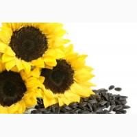 Предлагаем семена подсолнуха в больших объёмах