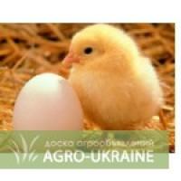 Продам цыплята суточные Адлер серебристый