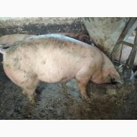 Свині м#039;ясної породи