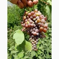 Мы продаем свежий виноград