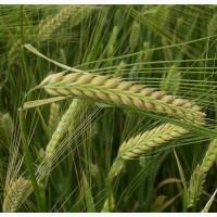Семена озимого ячменя Девятый вал Элита, 90-105 ц/га