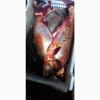 Куплю рыбу свежую, без посредников