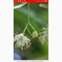 Закупаем по области свежесорваный цвет липы