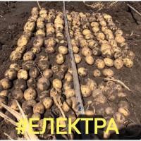 Семенной картофель 1Р