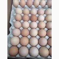 Инкубационное яйцо бройлера КОББ 500 Венгрия