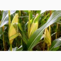 Семена кукурузы СИ Зефир ФАО 380