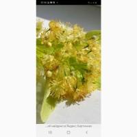 Закупаем свежеслрваный цвет липы в днепре