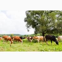 Продам молоко оптом Коровье коров#039;яче