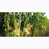 Закуповуємо кукурудзу великими партіями