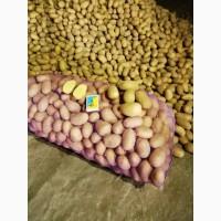 Картофель посадка Гранада/БеллаРОЗА 45+/ в наличии