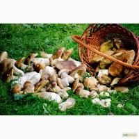 Продам белые консервированные и сухие грибы из Закарпатской области. 2014 г.
