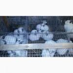 Продам кролів каліфорнійскої породи