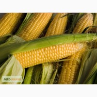Закупаем кукурузу дорого