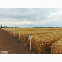 Пшеница озимая от оригинатора