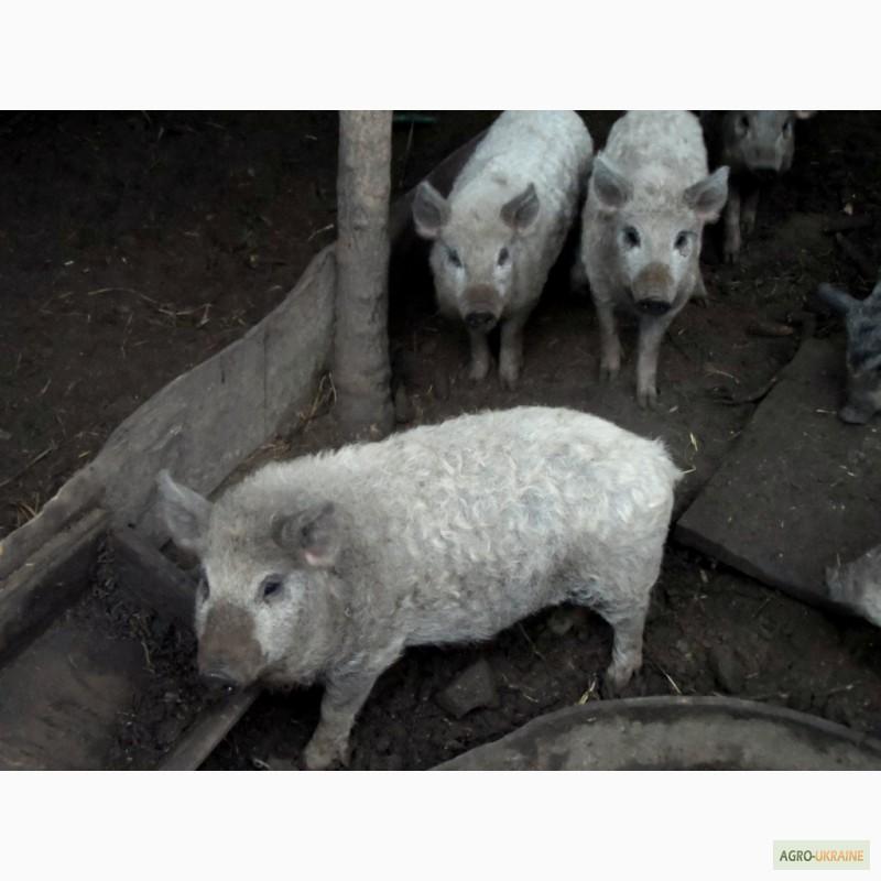 Продам свиней породы Мангал, купить свиней породы Мангал ...: http://agro-ukraine.com/ru/trade/m-484630/prodam-svinej-porody-mangal/