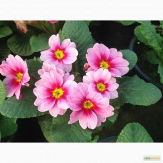 Продам цветы примула к14 февраля