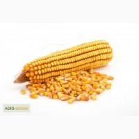 Купим на экспорт в больших объёмах кукурузу