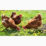 Цыплята мясо-яичной породы Браун Ник от производителя