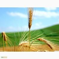 Предприятие переработчик купит дорого жито (рожь) можно с места