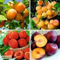 Саженцы плодовых яблоня, груша, слива, вишня, черешня, персик, абрикос и т.д