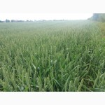 Продам насіння пшениці Бамберка (Польща).Зимоярка
