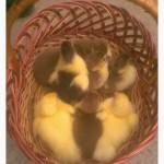 Инкубационное яйцо индоуток