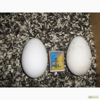 Продам Яйцо гусиное (инкубационное)