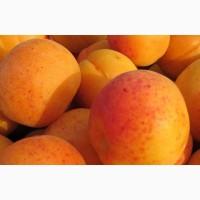 Саджанці абрикосу - більше 10 сортів. Для домашнього саду і оптом