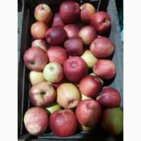 Продам Яблука в/гат, Закарпатье смт Буштино