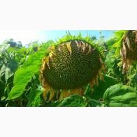 Отличная цена урожая 2017 года! Продам семена подсолнечника гибрида Euralis Ягуар